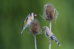 Free Juvenile And Adult European Goldfinch (Carduelis C Stock Photos - 33830923