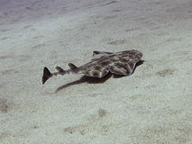 Juvenile Angel Shark. Juvenile angelshark swimming over a sandy bottom at Canary Islands Stock Photography