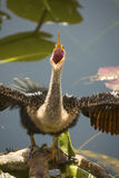 Juvenile anhinga with bill wide open as if singing opera. Royalty Free Stock Photos