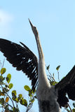 Juvenile anhinga perched on a branch in the Everglades. Stock Image