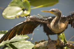 Juvenile anhinga stands with wings outspread in Florida`s Evergl. Closeup of juvenile anhinga standing with wings spread in swamp water of the Florida Everglades Stock Image