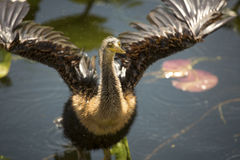 Juvenile anhinga stands with wings outspread in Florida`s Evergl Royalty Free Stock Photos