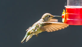 Juvenile Anna's Hummingbird Stock Photography