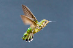 Juvenile Anna's Hummingbird Stock Photo