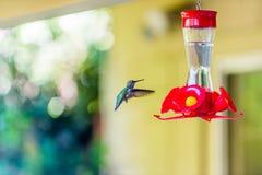 Juvenile Anna's Hummingbird. Juvenile Anna's Hummingbird Northern California Stock Photo