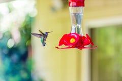 Juvenile Anna's Hummingbird. Juvenile Anna's Hummingbird Northern California Stock Photography