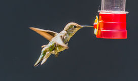 Juvenile Anna's Hummingbird Royalty Free Stock Photo