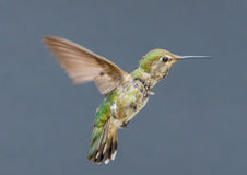 Juvenile Anna's Hummingbird Stock Images