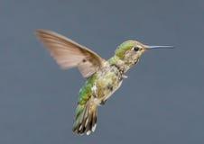 Juvenile Anna's Hummingbird Stock Images