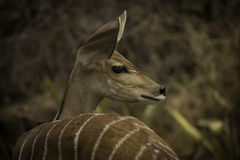 Juvenile Antelope Stock Photo