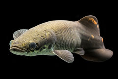 Juvenile Arapaima Gigas Paiche Royalty Free Stock Photography