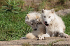 Juvenile arctic wolf with mother. A mother arctic wolf with her juvenile cub resting on a flat rock in the summer months Stock Image