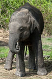 Juvenile Asian Elephant Stock Photography