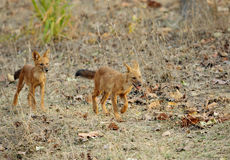 Juvenile Asiatic wild dogs Royalty Free Stock Images