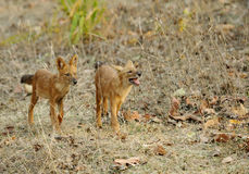 Juvenile Asiatic wild dogs Royalty Free Stock Photography