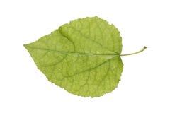 Juvenile aspen leaf isolated on white stock photo