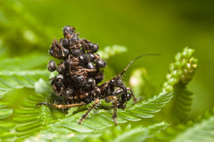 Juvenile assassin bug. Carrying ants Stock Photo