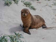 A juvenile Australian sea lion Royalty Free Stock Photo