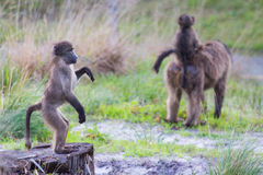 Juvenile baboon standing upright. Young chacma baboon standing upright gazing into distance Stock Photo