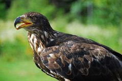 Juvenile Bald Eagle. A juvenile bald eagle keeps a watchful eye on a sunny summer day Royalty Free Stock Photos