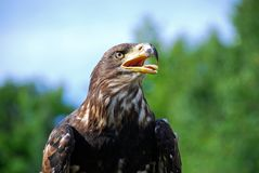 Juvenile Bald Eagle. A juvenile bald eagle keeps a watchful eye on a sunny summer day Royalty Free Stock Image