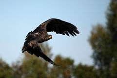 Juvenile Bald Eagle royalty free stock photo
