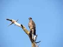 Juvenile Bald Eagle. This juvenile Bald Eagle perches atop a dead tree while he surveys the land below Stock Photography