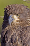 Juvenile Bald Eagle Stock Photography