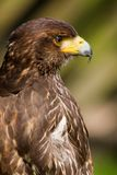 Juvenile Bald Eagle Royalty Free Stock Photography