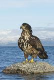 Juvenile Bald Eagle Royalty Free Stock Image