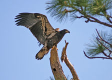 Juvenile bald eagle. Low angle view of juvenile bald eagle on tree branch with open wings Stock Images