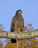 A Juvenile Bald Eagle Stock Photo