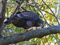 Juvenile Bald Eagle. Eating a large fish Royalty Free Stock Image