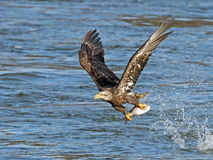 Juvenile Bald Eagle with Fish Royalty Free Stock Images