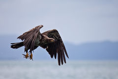 A juvenile bald eagle fishing Royalty Free Stock Photography