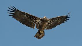 Juvenile Bald Eagle. A Juvenile Bald Eagle in flight Royalty Free Stock Photography