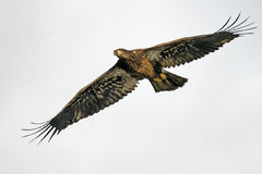 Juvenile Bald Eagle in Flight Royalty Free Stock Photos