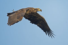 Juvenile Bald Eagle. In flight with Fish Royalty Free Stock Images