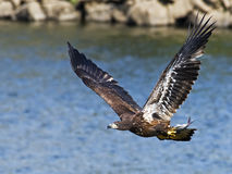 Juvenile Bald Eagle in Flight with Fish Royalty Free Stock Images