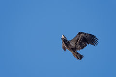 Juvenile bald eagle in flight. Fllying juvenile bald eagle in flight with blue sky background Stock Photography