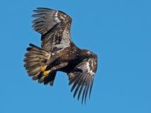 Juvenile Bald Eagle in Flight.  Royalty Free Stock Photo