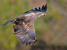 Juvenile Bald Eagle in Flight stock photo