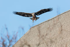 Juvenile Bald Eagle in Flight Royalty Free Stock Photo