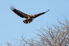 Juvenile Bald Eagle in Flight Stock Image