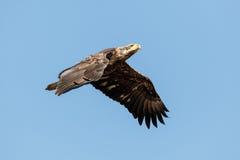Juvenile Bald Eagle in Flight Stock Photo