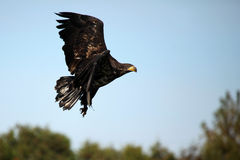 Juvenile Bald Eagle Flying Royalty Free Stock Photos