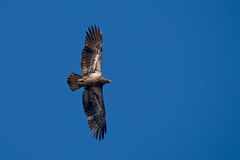 Juvenile bald eagle flying. A flying juvenile bald eagle flying againsta clear blue Florida sky Royalty Free Stock Image