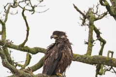 Juvenile Bald Eagle Haliaeetus leucocephalus perched on a tree. Branch stock photography