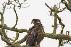 Juvenile Bald Eagle Haliaeetus leucocephalus perched on a tree. Branch Stock Photography