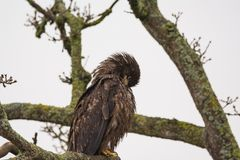 Juvenile Bald Eagle Haliaeetus leucocephalus perched on a tree. Branch and preening itself Stock Photography